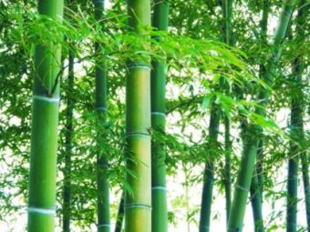 古紙が輸入禁止となった中国 非木材(竹)パルプに注目が集まる