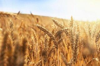 Red Leaf pulp社 カナダ初の小麦藁パルプ工場建設を発表 23年の生産開始を予定